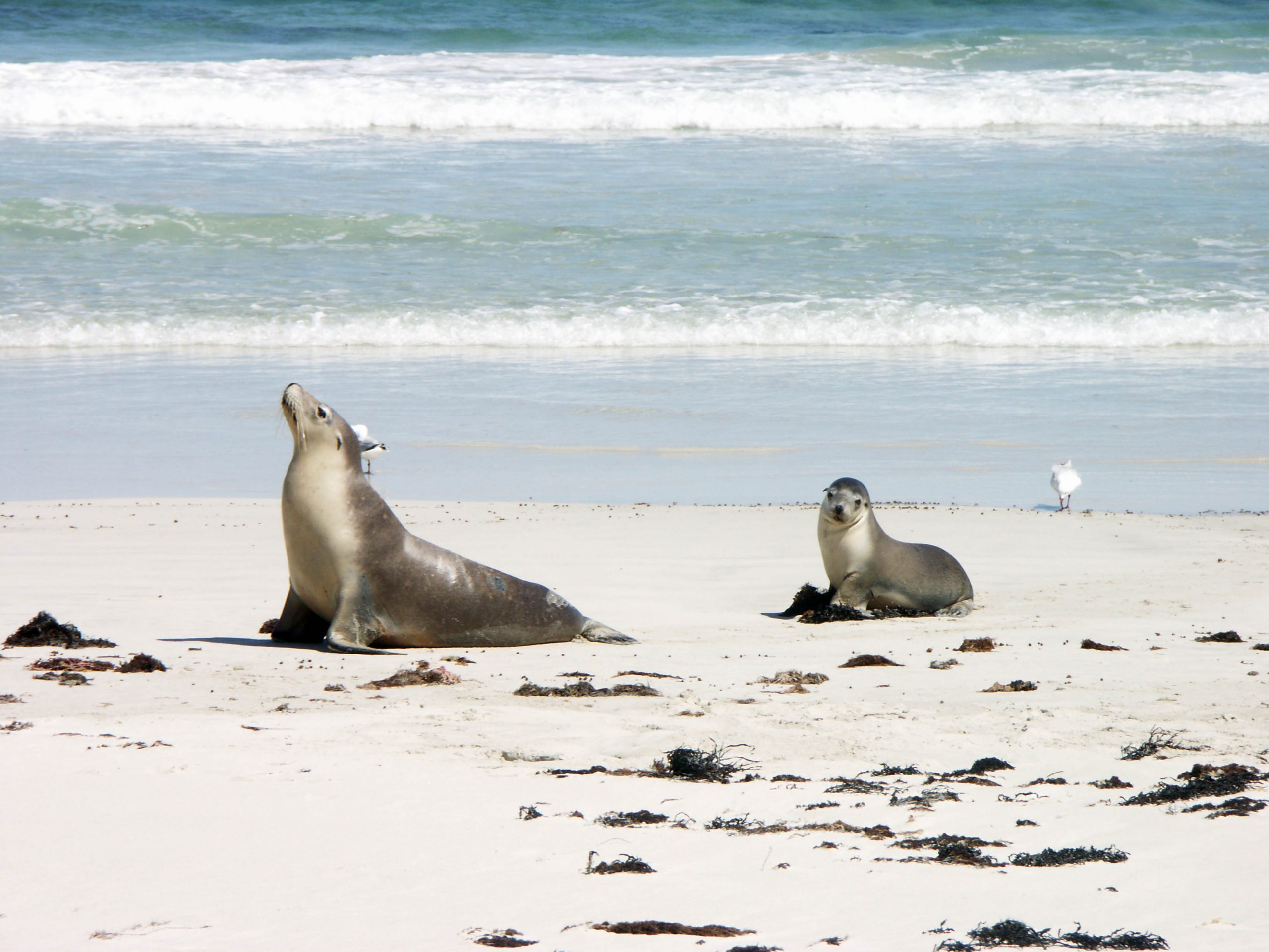 south Kangaroo Island attractions Seals