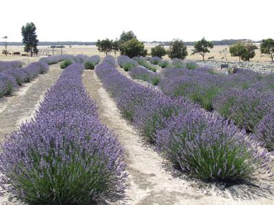 North Kangaroo Island Attractions Lavender Fields